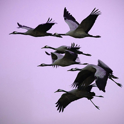Week in wildlife: Migrating cranes gather