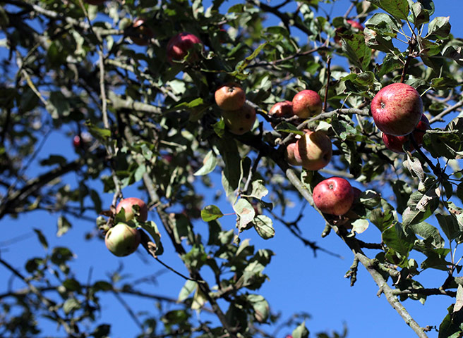 Week in wildlife: Apples grow in his orchard in Glastonbury
