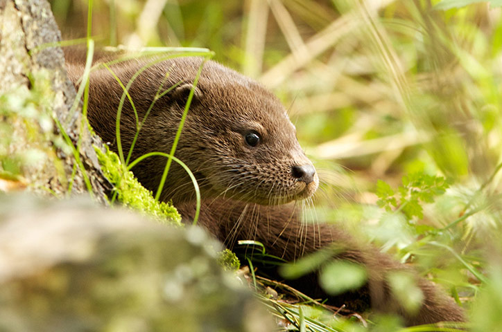 Week in wildlife: Rare sighting of young wild otter, RSPB Leighton Moss nature reserve
