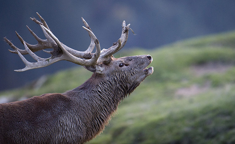 Week in wildlife: A rutting stag bellows in a wildlife park in Aurach