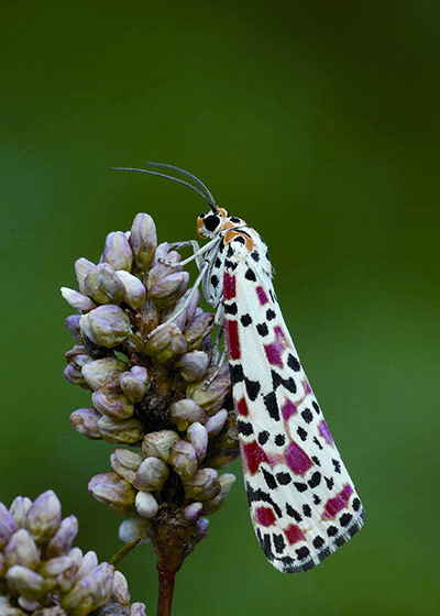 Week in wildlife: Heatwave brings rare moths to UK