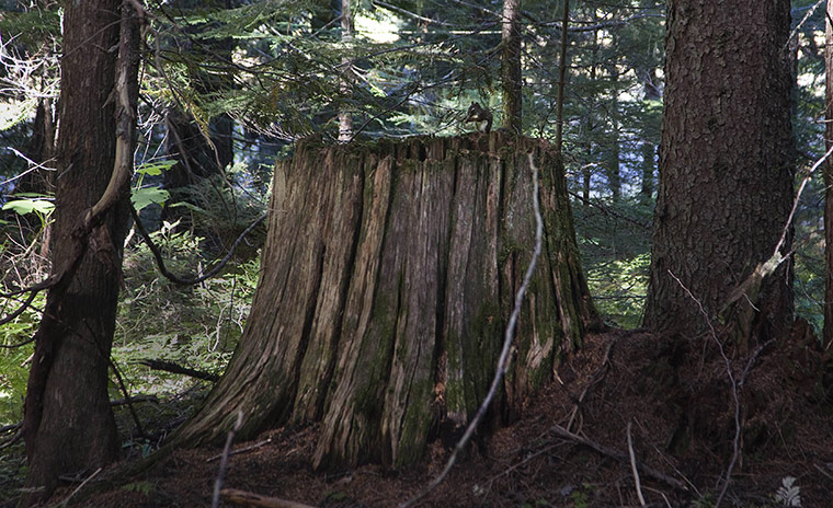 Week in wildlife: A chipmunk sits on the stump of an old growth tree