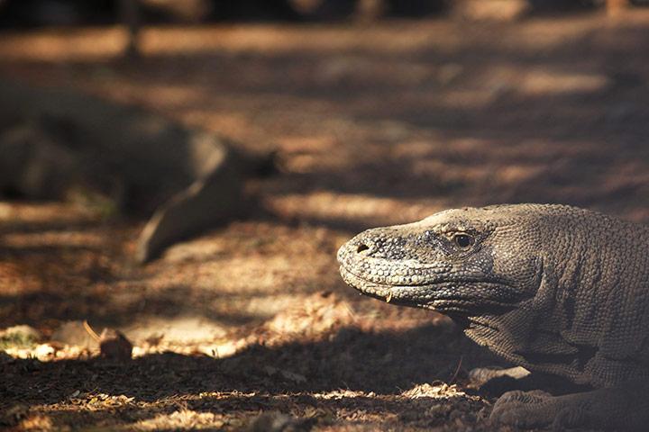 Week in wildlife: A Komodo dragon at the Komodo National Park in Komodo island, Indonesia