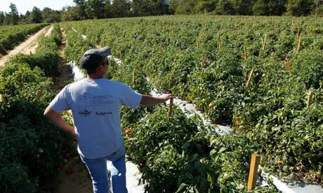 Tomato farmer in Alabama without labor thanks to the new immigration law