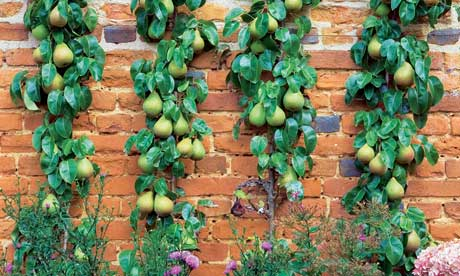 Gardens: training fruit trees | Life and style | The Guardian