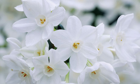 Plant of the week: Narcissus 'Ziva'