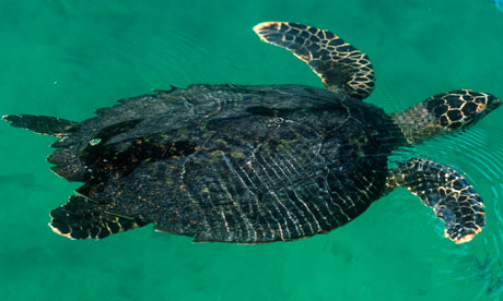 El parque marino de Australia será proteger los sitios de anidación de tortugas verdes