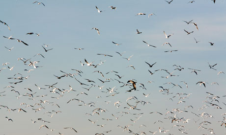 Flock of birds in flight