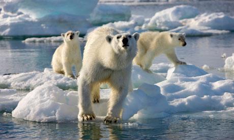Frozen Planet polar bears
