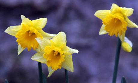 Daffodils in December