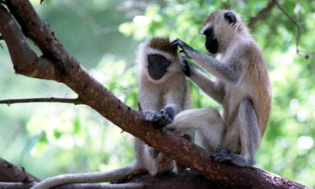 Cooperative monkeys from the Guardian
