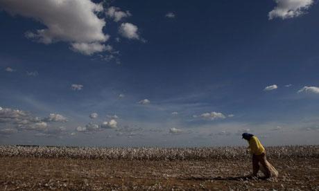Cotton harvest in Brazil