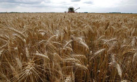 No genetically engineered wheat has been approved for US farming. Photograph: Laszlo Balogh/Reuters