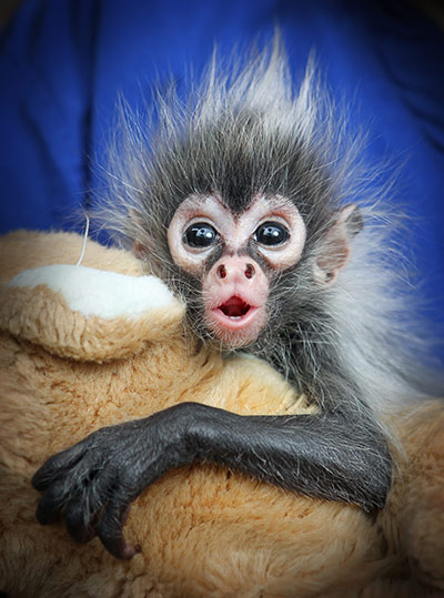 Babies Born Weeks on Seven Week Old Baby Spider Monkey Born At Melbourne Zoo In Australia
