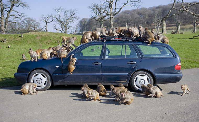 Longleat Monkeys: Longleat's notorious troup of macaques take apart a car