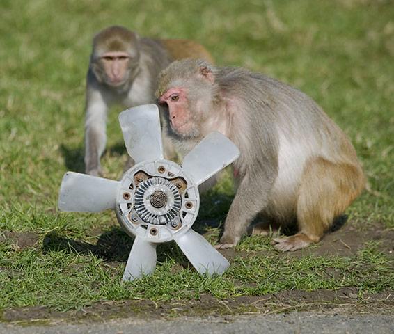 Longleat Monkeys: Two monkeys play with a fan blade