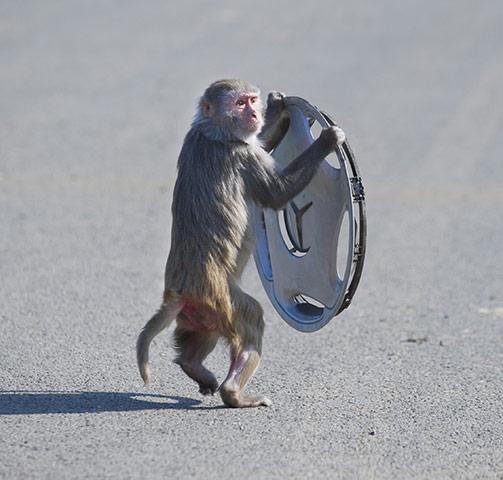 Longleat Monkeys: A monkey runs off with a wheel trim