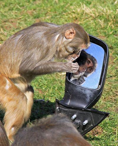 Longleat Monkeys: A monkey looks into a wing mirror