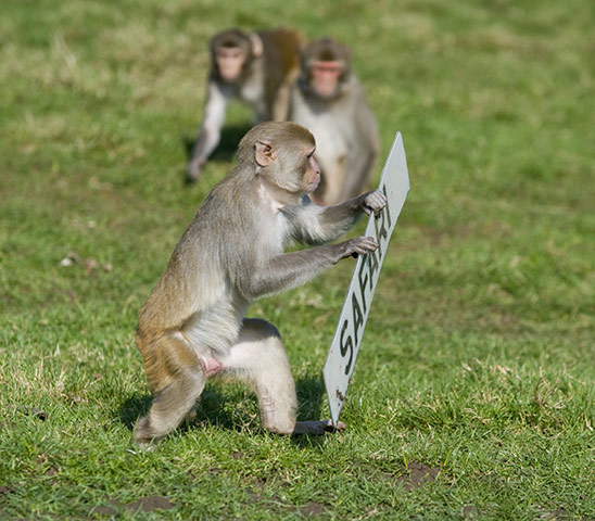 Longleat Monkeys: Monkeys run off with the car numberplate
