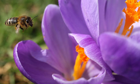 A bee arrives at of a flowering crocus in the Royal Botanic Gardens, Kew