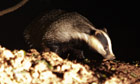 badger-cull