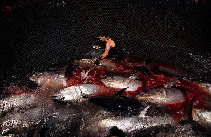 World news in pictures page 67 for Tuna fishing season