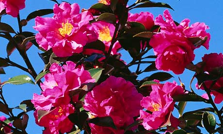In the garden this week: Camellia