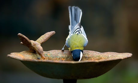 Great tit (Parus major) drinking from a bird bath for Leo Blog
