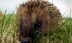 ANIMALS Hedgehogs 5