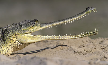 Gharial letter india
