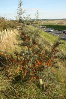 Sea buckthorn growing by a road