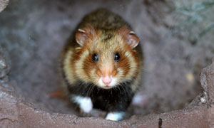 black bellied hamster