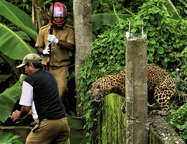 A leopard prepares to att 014 - Leopard attacks villegers in India, died today.