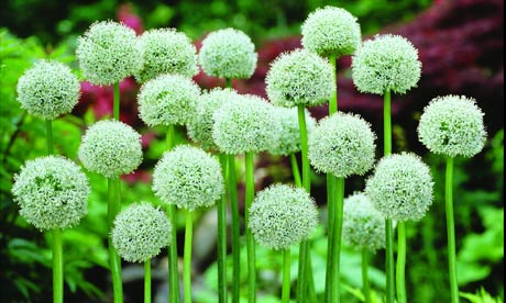 Plant Of The Week Allium Mount Everest Life And Style