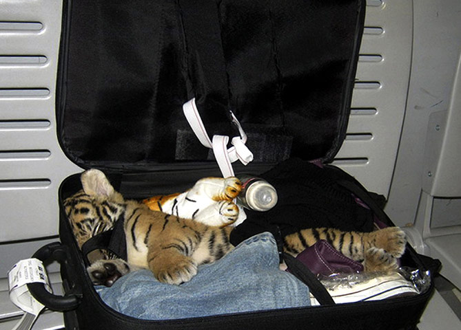 animal smuggling: A baby tiger cub