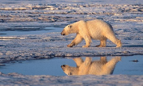 Polar bear, melting Arctic sea ice