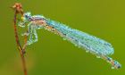 Dragonfly with Morning Dew
