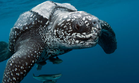 Leatherback Turtles Taste For Jellyfish Leads Them To