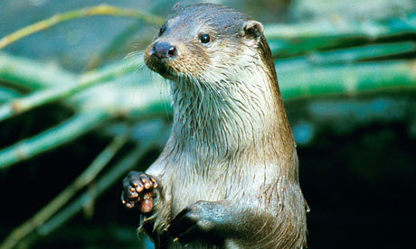 Otter population figures on the up