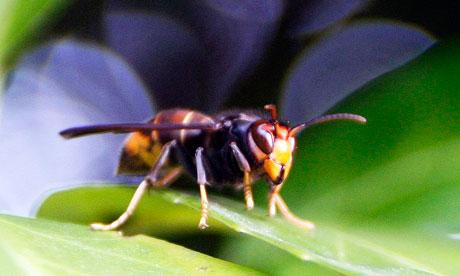 An Asian hornet near a beehive southwestern France