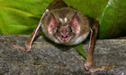 A vampire bat bares its fangs