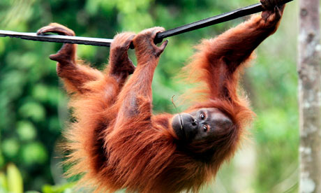 Government authorities seized the adult ape named Shirley from a ...