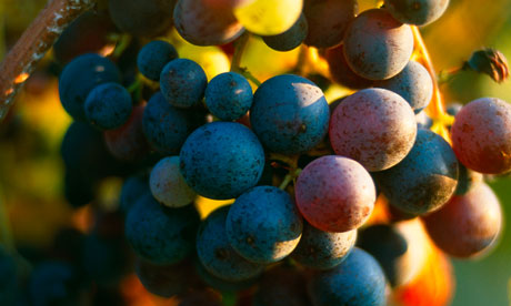 Red grapes on the vine in the Chianti region of Tuscany