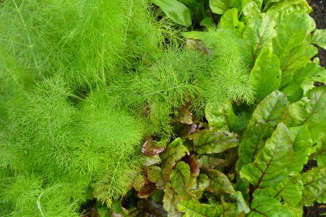 allotment-fennel-beet