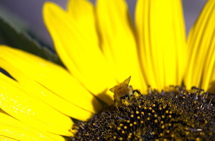 week in wildlife: A bee sits on a sunflower