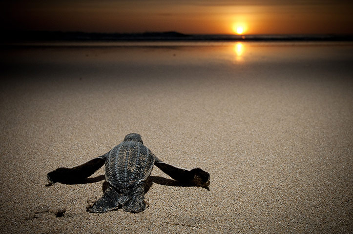 week in wildlife: Leatherback turtles