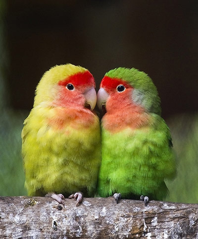 week in wildlife: A couple of lovebirds