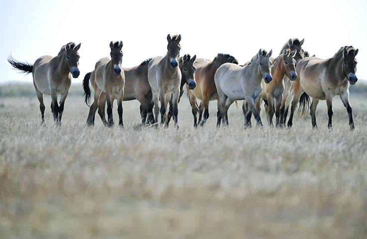 week in wildlife: Przewalski wild horses