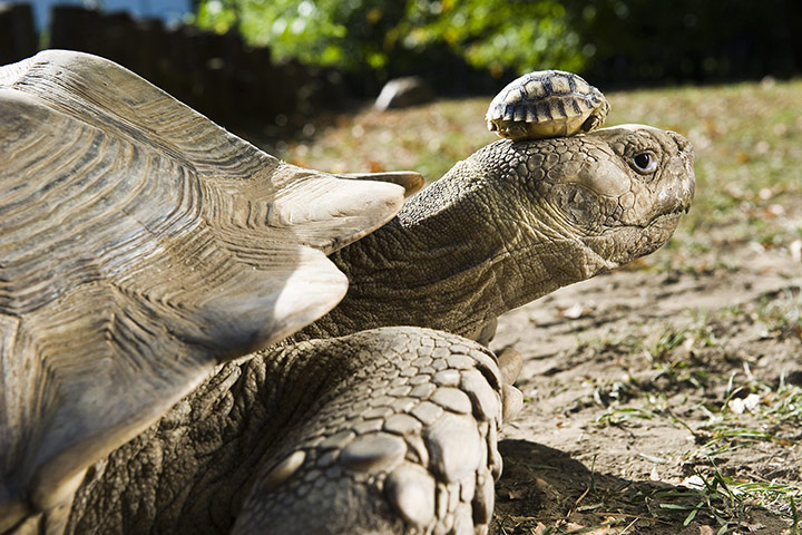 week in wildlife: African spurred tortoise babies born in Nyiregyhaza Animal Park