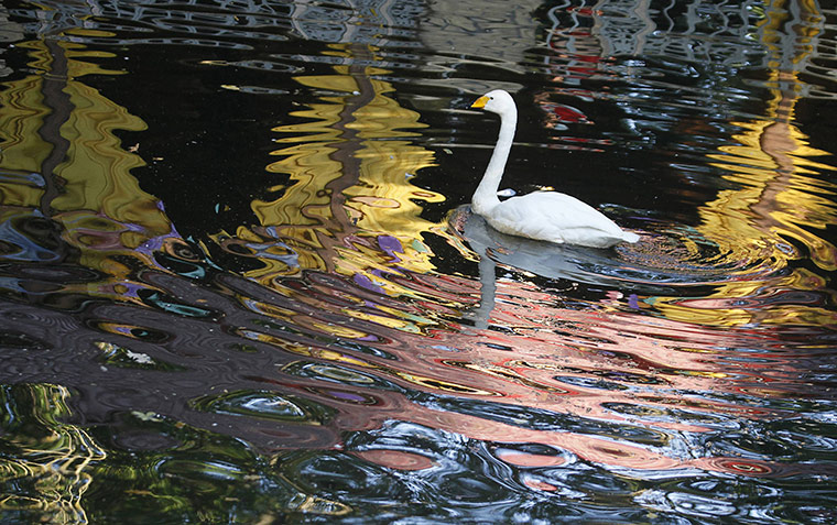 week in wildlife: A swan swims in a park pond in the southern Russian city of Stavropol